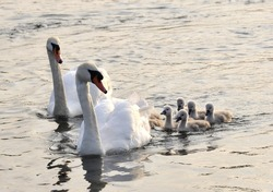 Swan family on a lake