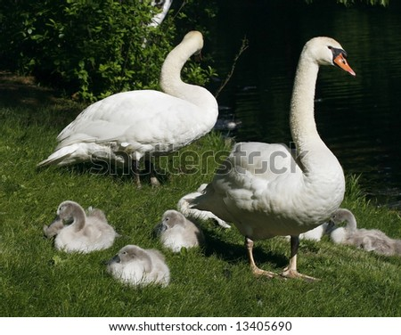 swan family on grass