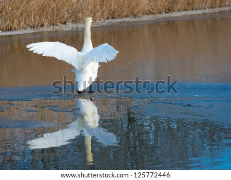 Swan flapping its wings on ice #125772446