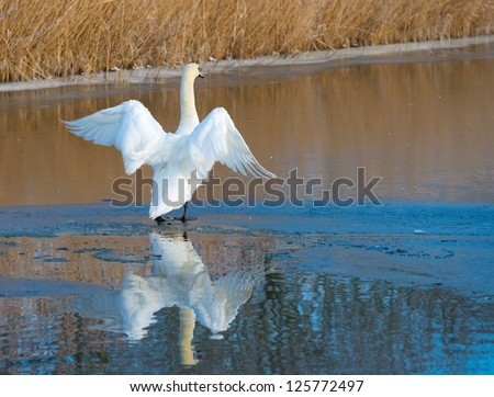 Swan flapping its wings on ice #125772497