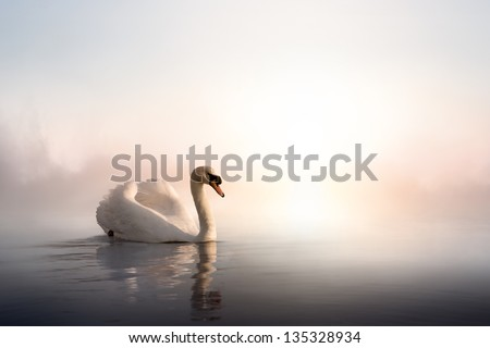 Swan floating on the water at sunrise of the day