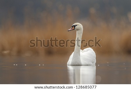 swan  front of creamy background