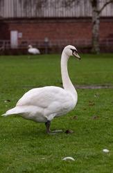 swan gracefully groomed walking on grass