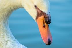 Swan head close up with sharp eye, Qudra Lake Dubai