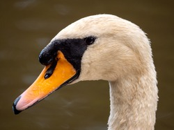 Swan head swanning around lake. eye and beak wit top of neck