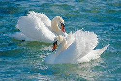 Swan in a bright day at the sea