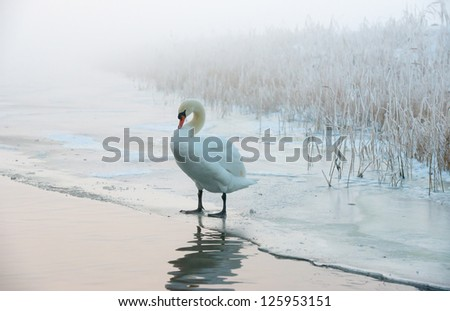 Swan in a frozen canal in winter