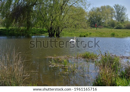 Swan in a pond at Canford SANG Photo stock ©