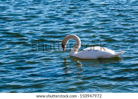 Swan in blue water looking for food