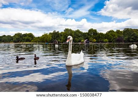 Swan in Hyde Park