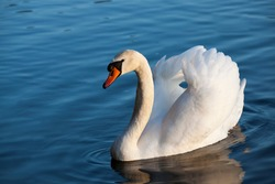 Swan in spring, beautiful waterfowl Swan on the lake in the spring, lake or river with a Swan