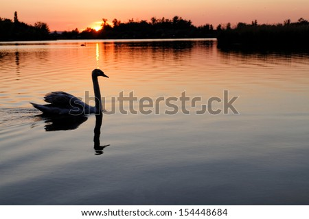 Stock Photo Swan in the beautiful sunset over the lake