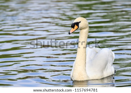swan in the lake Stock foto ©