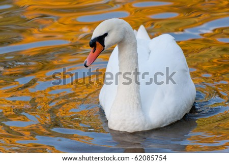 Swan in water with reflections of autumn foliage