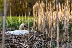 Swan is sitting in the nest.