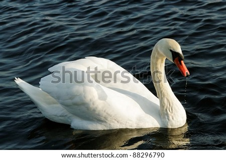Swan is swimming on the lake, from beak dribble water drops.