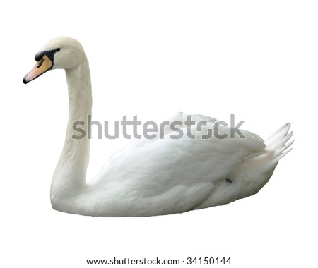 Swan, isolated