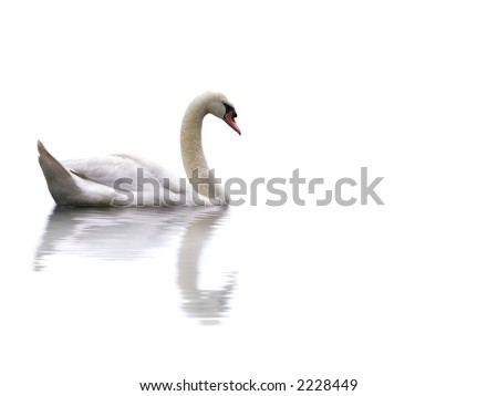 Swan isolated on white