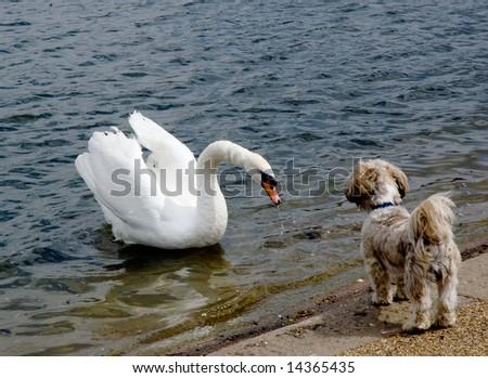 Swan Meets Puppy - Hyde Park, London
