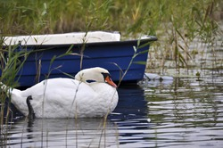 swan near the boat