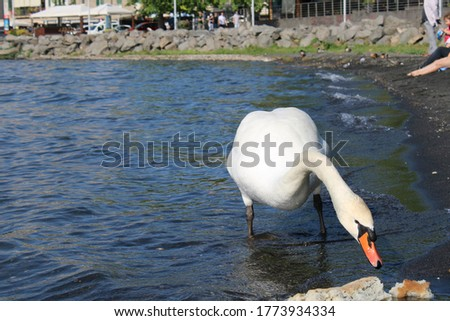swan on lake with blue lake water in background