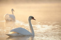 Swan on the lake on a misty morning.
