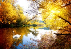 Swan on the river in autumn forest