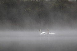 swan or swan family on lake