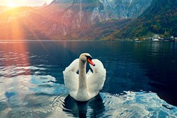 Swan portrait. Mute swan (Cygnus olor) gliding Lake Hallstatt Austria in sunrise morning light. Amazing morning scene, misty morning. Beautiful swan on austian alps lake in morning mist. Cold toned