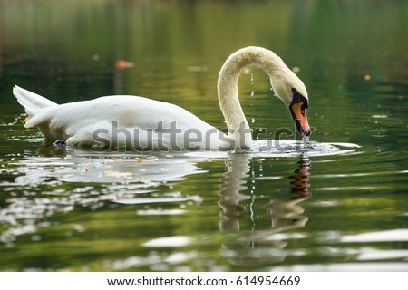 Swan reflected in Lake #614954669