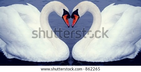 Swan's couple forming an Heart