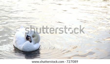 swan sleeping on a lake
