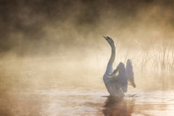 Swan stretching its wings on River Avon on a misty morning