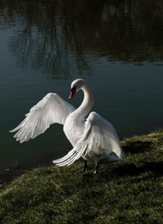 Swan stretching wings before the fly