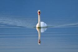 Swan swimming toward the camera after sunset, in Torbiere del Sebino peat bog, near Brescia, Italy