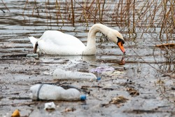 Swan swims in contaminated water with plastic bottles