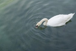 swan swims on the lake, he just sticks his head into the water to catch water insects, molluscs, small fish and amphibians, swans give a lot of love and joy to people, day without people