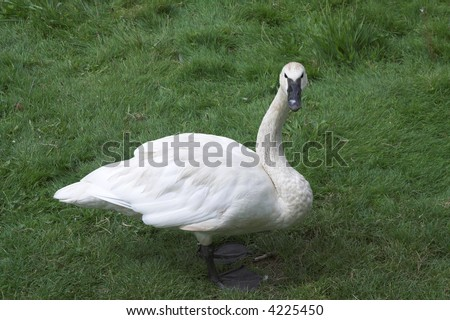 Swan turning to ask the photographer \'are you talking to me ?\'