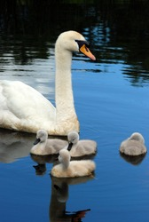 swan with baby chicks