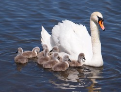 Swan with chicks, Cygnus olor
