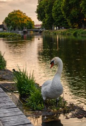 Swan with curvy neck in