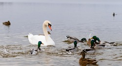Swan with ducks swimming in the water (feeding), Shallow DOF, selective focus on swan