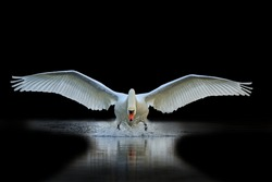 Swan with open wings, a unique moment, spring courtship