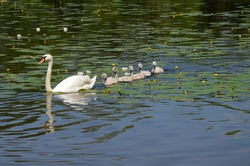 Swan with swans swimming in the pond. Little goslings with a goose on the lake. Migratory, wild birds in nature. A brood of white swans.
