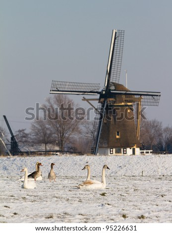 Swans and geese at the mill