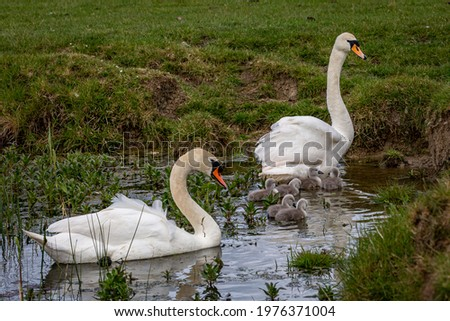 Swans and their cygnets in a stream near Lewes in Sussex Zdjęcia stock ©