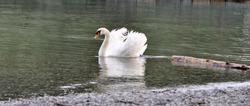 Swans are beautiful birds, they are the largest member of the duck and goose family. Swan is one of the few heavy birds that is able to fly, even if it is only a short distance.