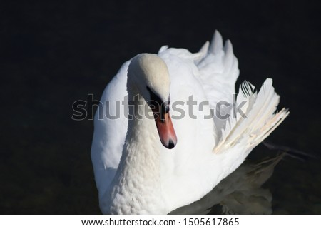 Swans are majestic birds of royal beauty and grace #1505617865