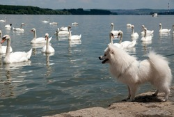 Swans at the Danube river and curious white dog.