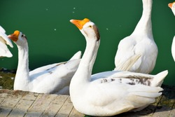 Swans basking in the sun late afternoon on the bank of Gangasagar, a pond located at Janakpur, Nepal